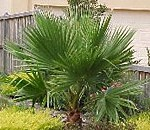washington-palm